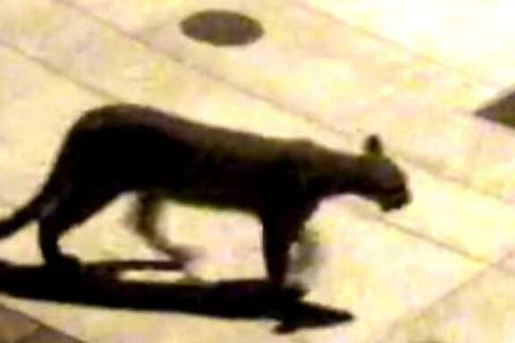 Salesforce CEO Marc Benioff's security footage of a mountain lion outside his Presidio Heights home Saturday. One was also seen early Wednesday.