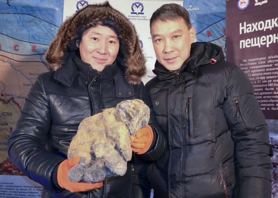 In this Monday, Nov. 16, 2015 photo provided by the Russian Academy of Sciences of the Republic of Sakha, Yakov Androsov, a researcher, right, and his assistant show the body of a cave lion during a presentation at the regional Academy of Sciences at the Kingdom of Permafrost museum in Yakutsk, 4,900 kilometers (3,000 miles) east of Moscow. Another cave lion cub was uncovered in Yakutsk in September 2017. Photo: AP