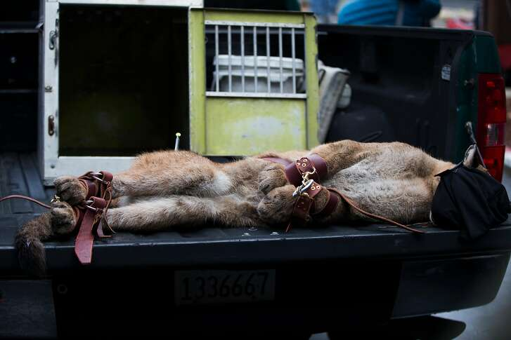A mountain lion tranquilized by the California Department of Fish and Wildlife rests on a truck after it was captured in the Diamond Heights neighborhood in San Francisco, Calif. on Friday, Nov. 10, 2017.