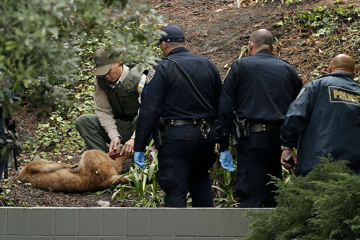 Officials tie the legs of the mountain lion after it was tranquilized on Friday, Nov. 10, 2017, in San Francisco. The mountain lion was spotted near Diamond Heights Boulevard and Duncan Street.