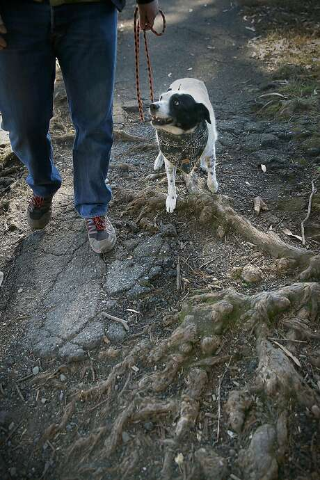 Concha navigates an area near the McLaren tennis courts where tree roots have damaged the paths. Photo: Liz Hafalia, The Chronicle