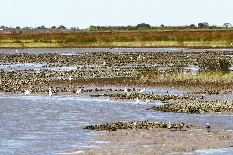 New regulations designed to protect intertidal oyster reefs took effect Nov. 1. Commercial or recreational harvest of oysters within 300 feet of water line along shoreline of mainland or islands is now prohibited. Photo: Shannon Tompkins
