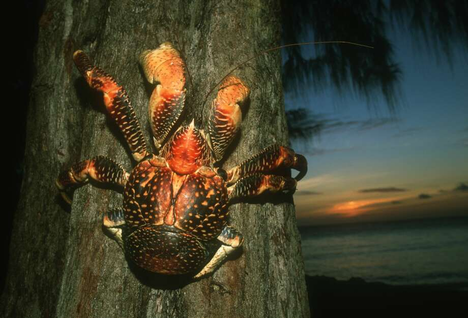The coconut crab (Birgus latro), also known as the robber crab, is the world's largest land crustacean. Photo: Martin Harvey/Getty Images