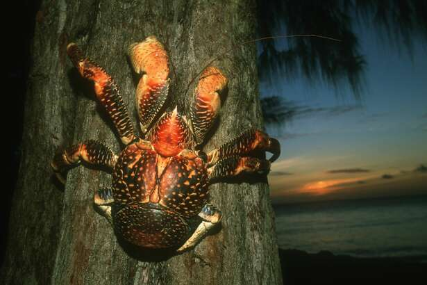 The coconut crab (Birgus latro), also known as the robber crab, is the world's largest land crustacean.