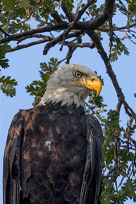 A bald eagle at perch in oak tree to survey foothills of Contra Costa County Photo: Tom Stienstra, Steve Goodall / Special To The Chronicle