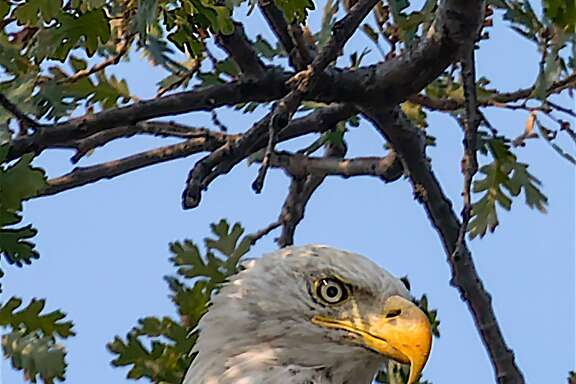 A bald eagle at perch in oak tree to survey foothills of Contra Costa County