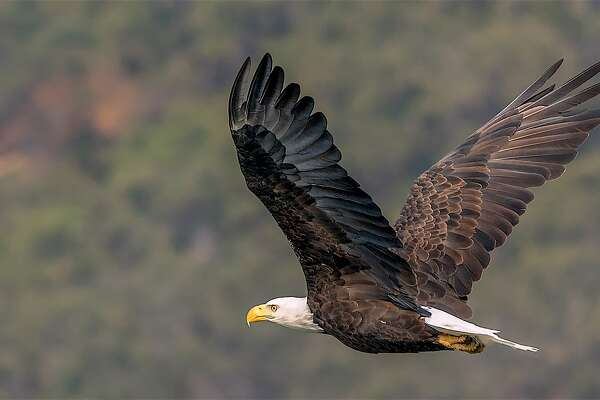 In Bay Area and beyond, bald eagles steal the show