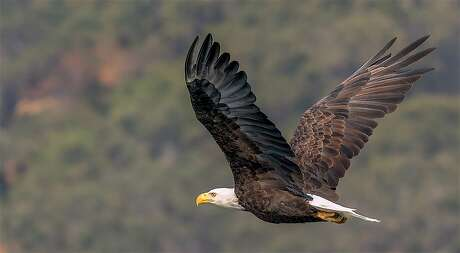 A bald eagle in flight at Los Vaqueros Reservoir in the foothills of Contra Costa County