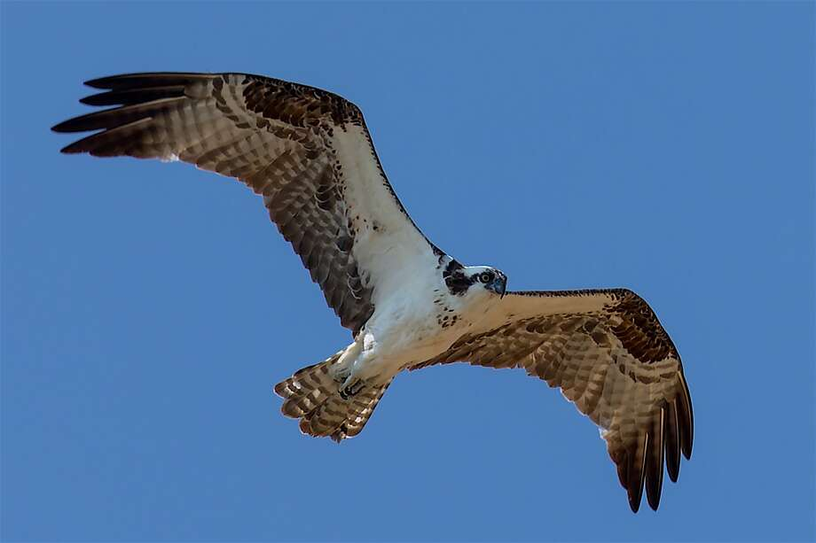 An osprey glides over Los Vaqueros Reservoir in the hunt for a fish near the surface Photo: Tom Stienstra, Steve Goodall / Special To The Chronicle