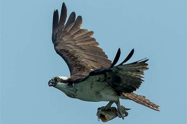 Eagles Hawks Flocking To Bay Area Lakes Foothills Sfchronicle Com