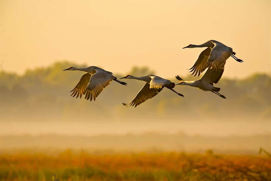 Sandhill cranes arrive in a squadron at the Woodbridge Ecological Reserve in the eastern Delta near Lodi -- Woodbridge is often the No. 1 site in California to see sandhill cranes, at times with dusk fly-ins of 1,000 birds. Photo: Tom Stienstra, Brigette Clough / Special To The Chronicle