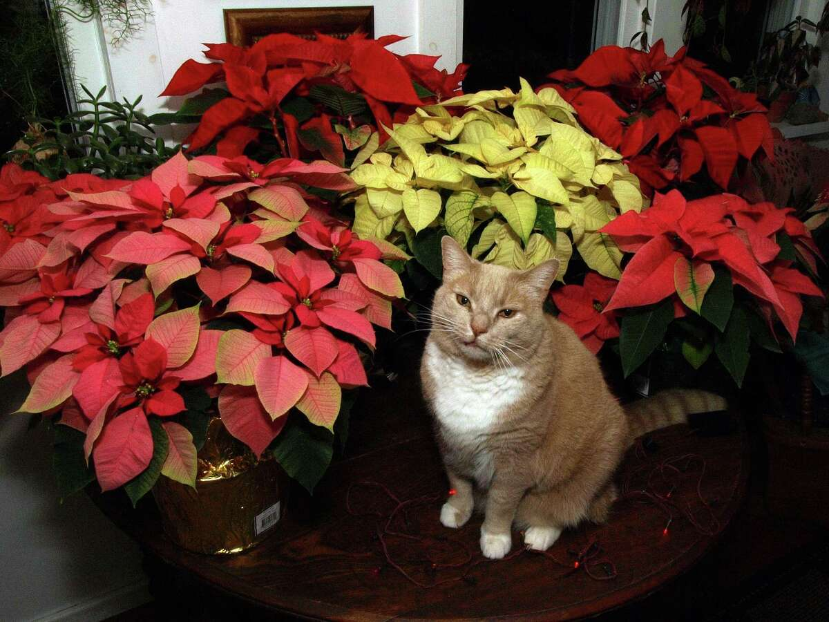 Poinsettias won't poison your cat