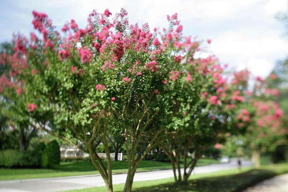 Crape myrtles trained to just one trunk are not the most stable — and that's partly why most are trained to have three to five trunks. Photo: Melissa Phillip /Houston Chronicle / Houston Chronicle