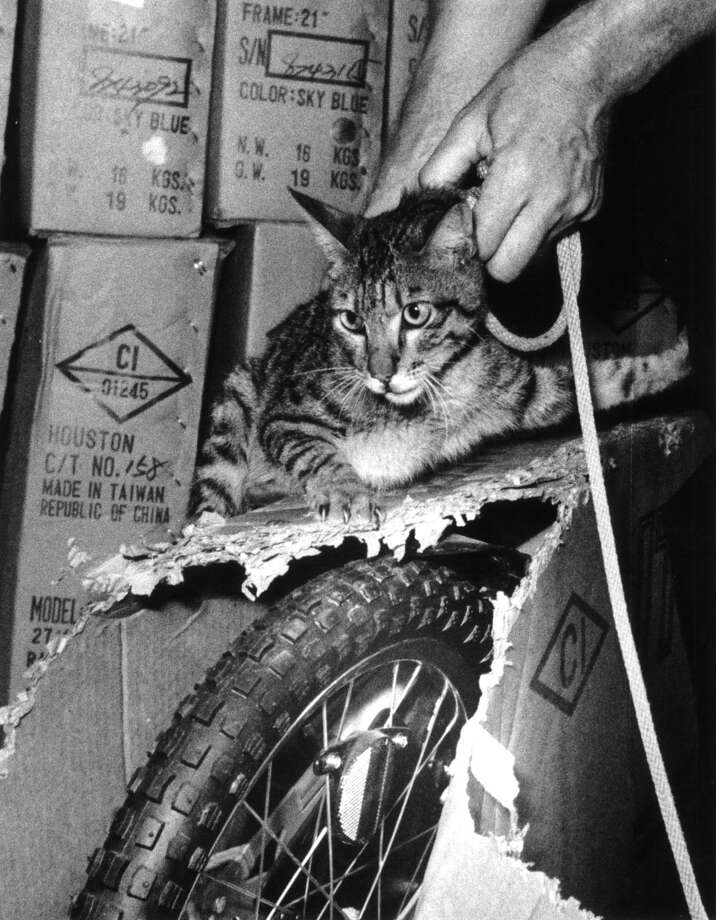 "June 1, 1978: U.S. Customs inspector Alan Dalberg takes custody of a cat that apparently jumped into a 20-foot-long container loaded in Taiwan with bicycles and shipped to Houston. The month's journey included a stop in Japan, an ocean voyage to Los Angeles and a train ride to Houston. Pete Lang, manager of the Santa Fe Trail Transportation Co. terminal here, where the carton was unloaded, said employees plan to adopt the cat after it completes an obligatory stay at the city's rabies control shelter and give it a name that means ""courageous world traveler"" in Japanese. The cat apparently survived by eating the cardboard cartons in its dark prison. Photo: Orie Collins/Houston Chronicle"