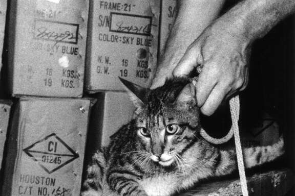 """June 1, 1978: U.S. Customs inspector Alan Dalberg takes custody of a cat that apparently jumped into a 20-foot-long container loaded in Taiwan with bicycles and shipped to Houston. The month's journey included a stop in Japan, an ocean voyage to Los Angeles and a train ride to Houston. Pete Lang, manager of the Santa Fe Trail Transportation Co. terminal here, where the carton was unloaded, said employees plan to adopt the cat after it completes an obligatory stay at the city's rabies control shelter and give it a name that means """"courageous world traveler"""" in Japanese. The cat apparently survived by eating the cardboard cartons in its dark prison."""