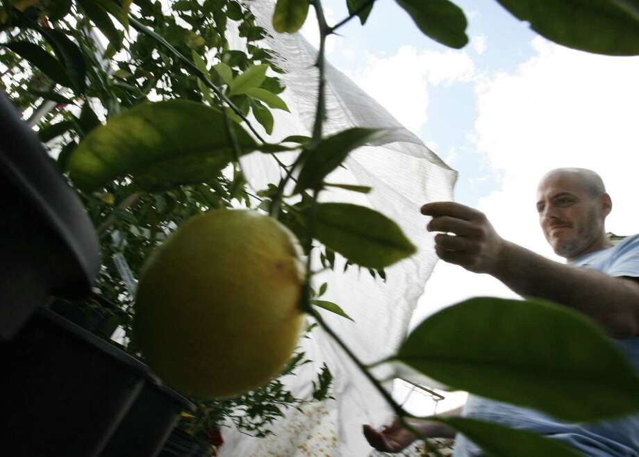 Citrus plants need to be covered to protect them from freezing temperatures. Photo: Kevin Fujii /Houston Chronicle / Houston Chronicle