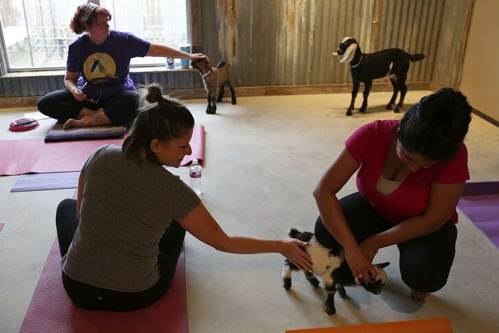 Erin Murphy, left, and Anna Chowdhury, right, both of San Antonio, meet Smuggles, a two-week-old pygmy goat before doing Goat Yoga with Texas Hill Country Goats and Yoga near Comfort, TX on Saturday, Nov. 4, 2017.