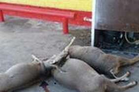 A surveillance photo appears to show three bloody deer outside a Laredo-area business.