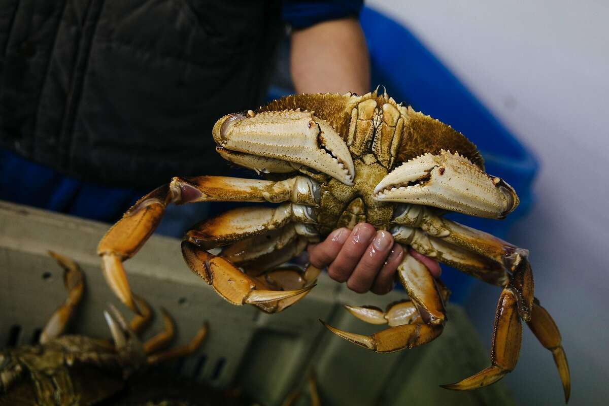 Peter Wong prepares to place rubber bands on a Dungeness crab's claws at Pier 45.