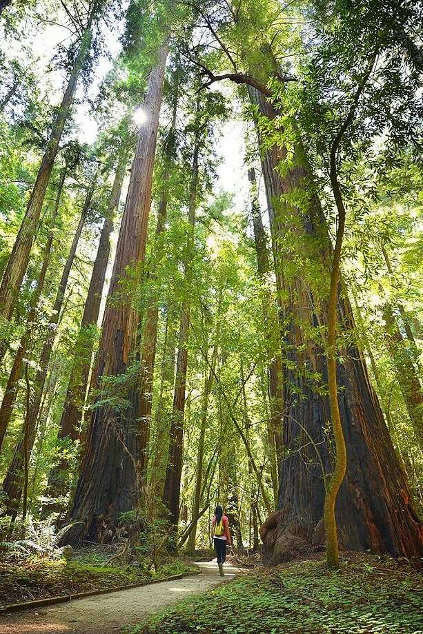 Redwoods Friday started in 2015. Photo: Mike Shoys, Courtesy Of Save The Redwoods League