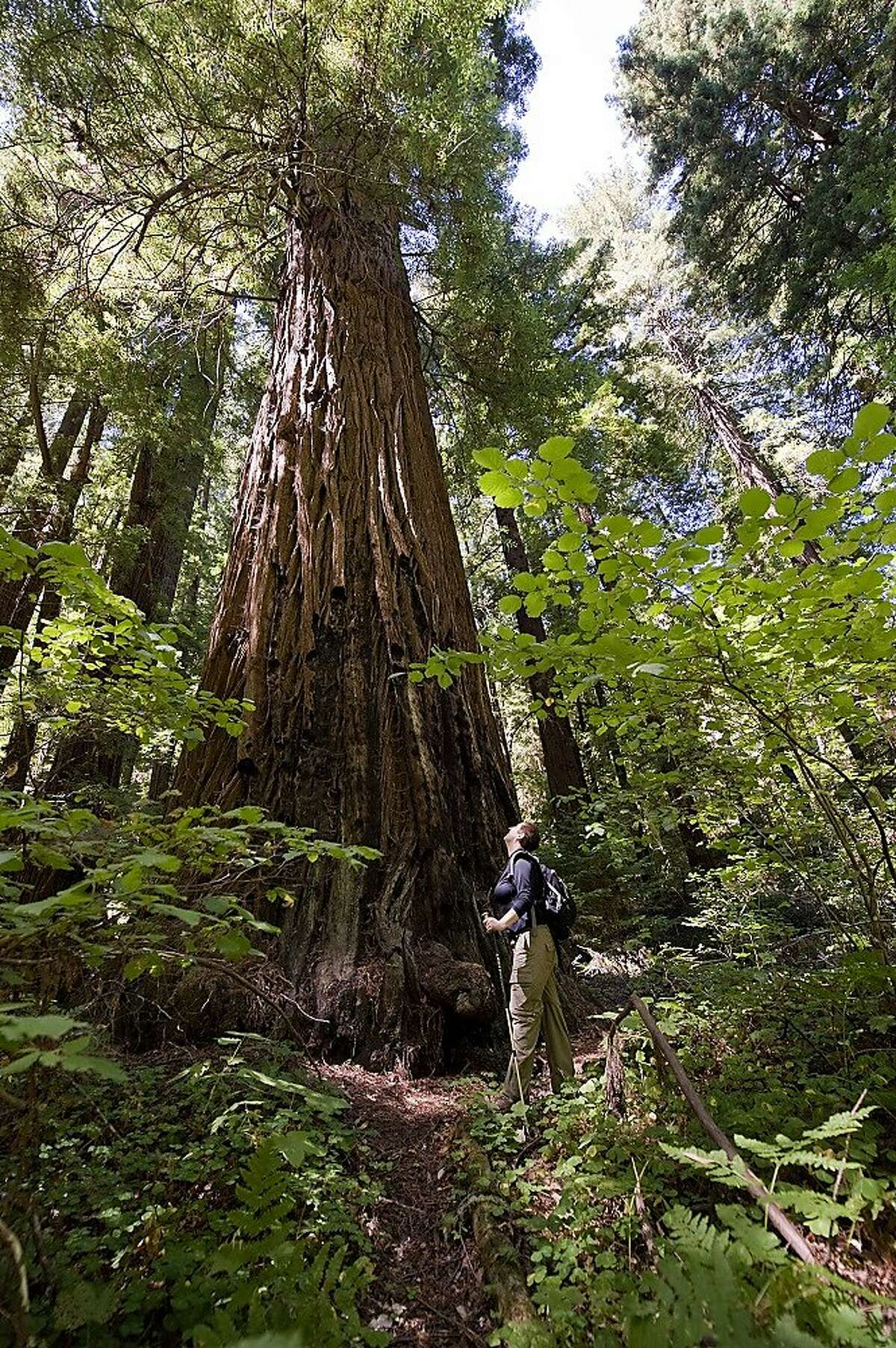 A hiker explores Portola Redwoods State Park, which has reopened after the wildfire.
