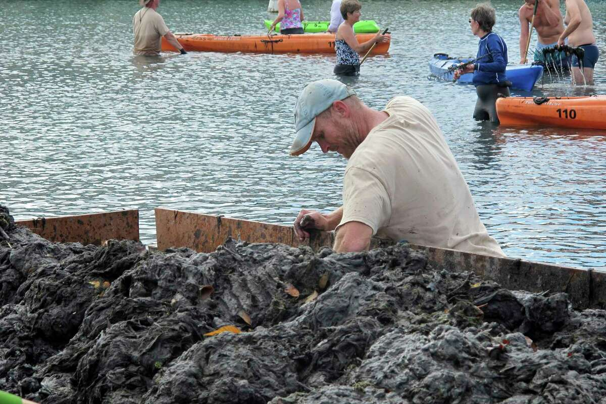In this Dec. 5, 2016 photo, a volunteer gathers algae from the bottom of Crystal River to combat the its growth at Hunter Springs Park in Crystal River, Fla. Pungent, ugly and often-toxic algae is spreading across U.S. waterways, even as the government spends vast sums of money to help farmers reduce fertilizer runoff that helps cause it. (AP Photo/Jason Dearen)