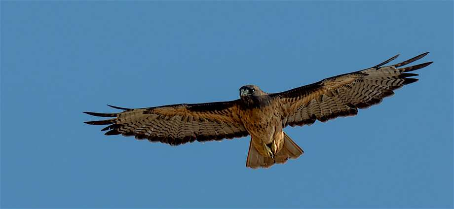 A red-tailed hawk Photo: Tom Stienstra / Steve Goodall / Special To The Chronicle / Steve Goodall