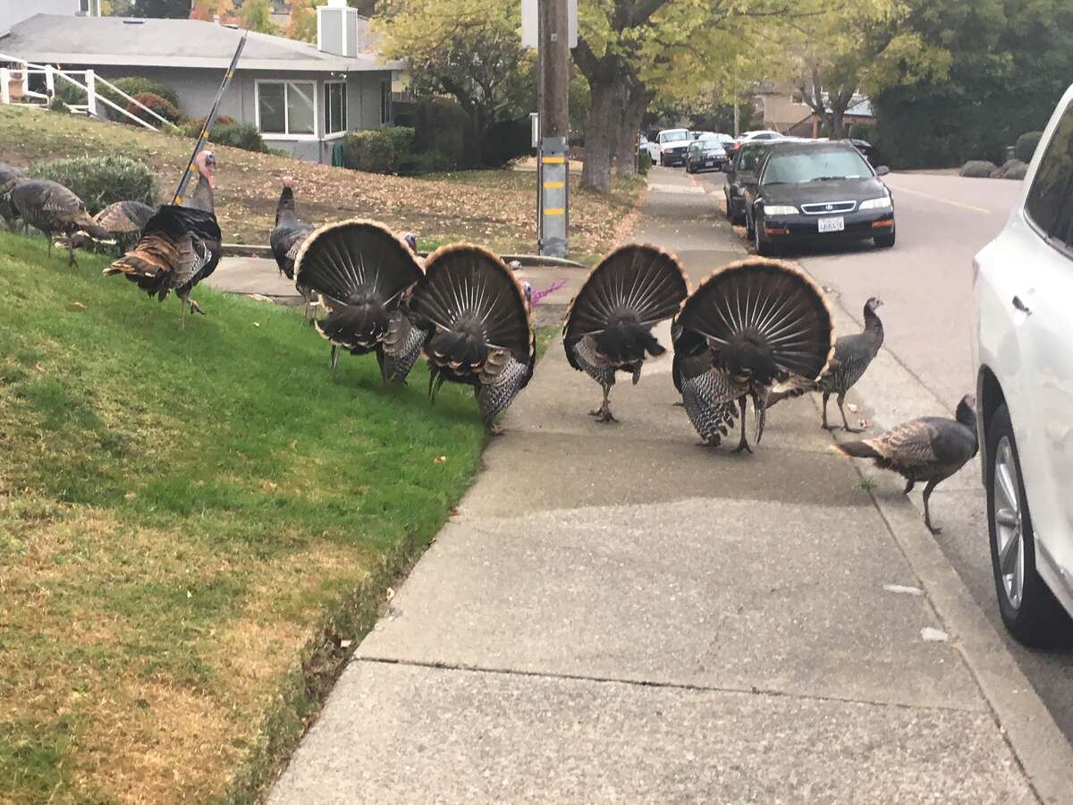 Turkeys trotting around San Rafael.