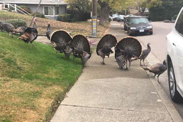 Turkeys seen in San Rafael.