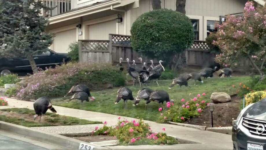 Readers submit their photos of turkeys around the Bay Area cities and suburbs: A house in Martinez had about 50 turkeys in the front yard. Photo: Nicole O'Brien