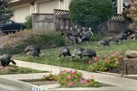 A house in Martinez had about 50 turkeys in the front yard.