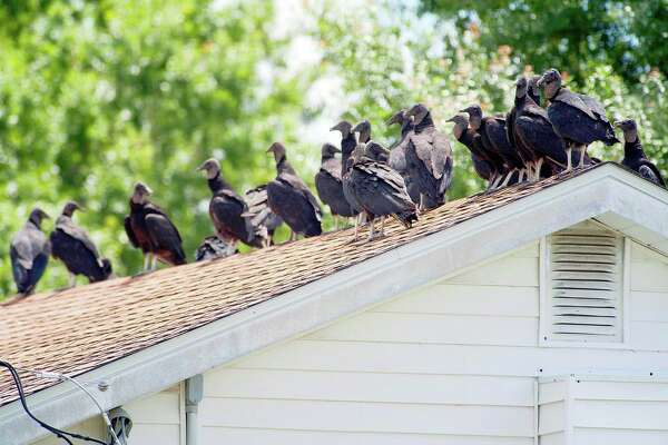 I'm fine with turkeys. I get a little edgy when my roof is covered in vultures, though. I always wonder if they know something I don't.