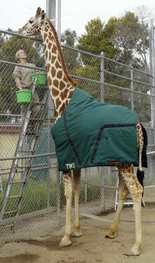 Tiki the giraffe wears her custom outerwear at the Oakland Zoo. Photo: Oakland Zoo