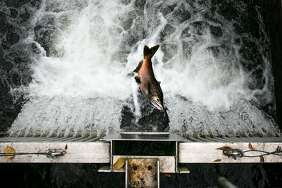 A salmon attempts to jump up the fish ladder to the Mokelumne River Hatchery in Clements.