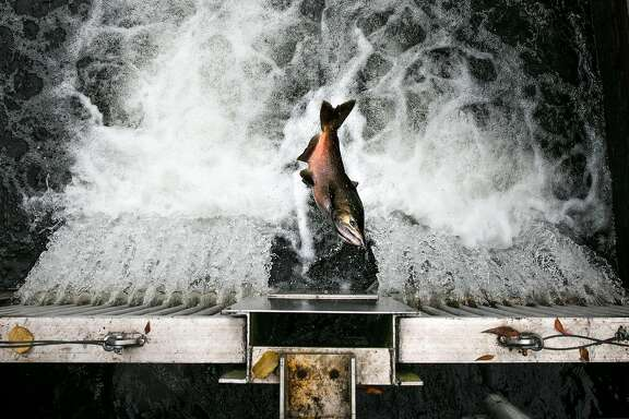 A salmon attempts to jump up the fish ladder to the Mokelumne River Hatchery in Clements, Calif. Thursday, November 16, 2017.