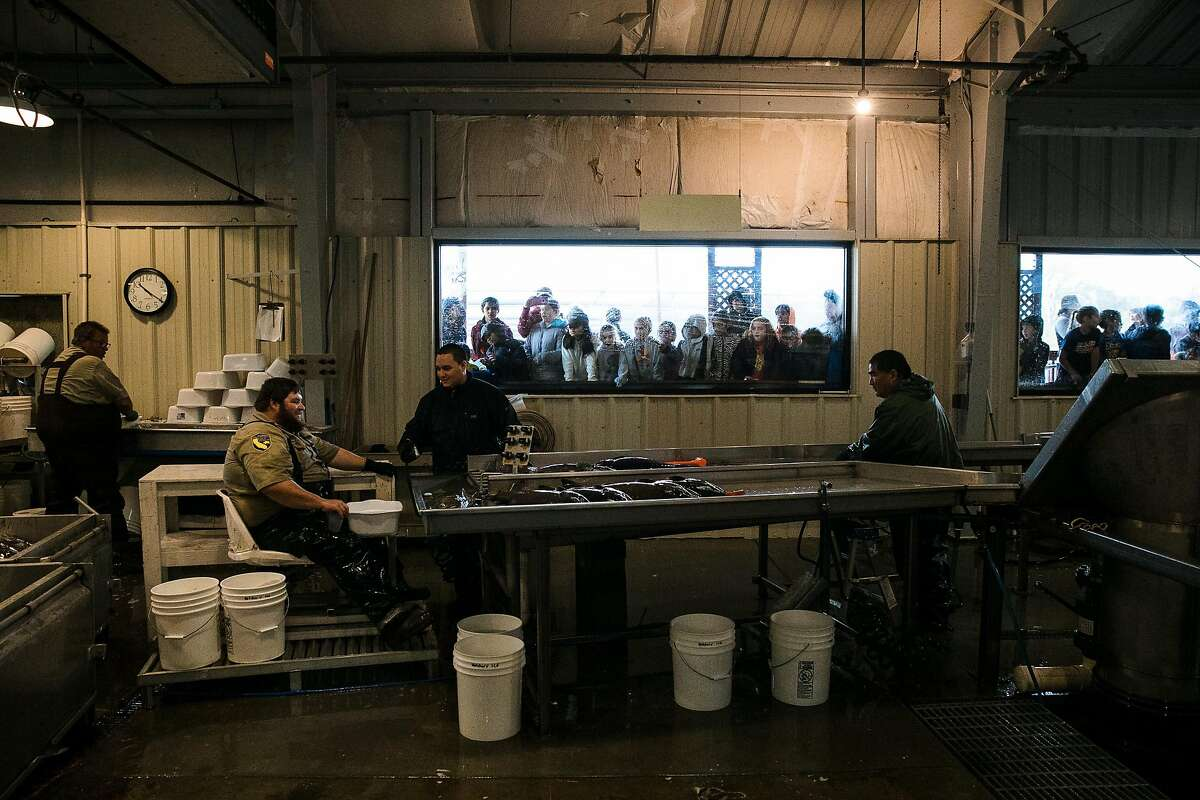 California Department of Fish and Wildlife employees are seen working at the Mokelumne River Hatchery in Clements, Calif. Thursday, November 16, 2017.