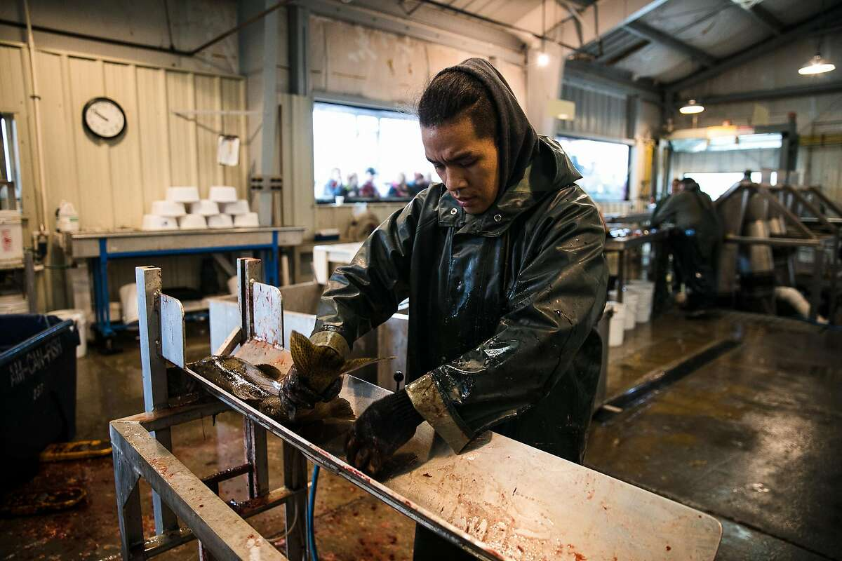 Joshua Deanfipps of California Department of Fish and Wildlife measures a salmon at the Mokelumne River Hatchery in Clements, Calif. Thursday, November 16, 2017.