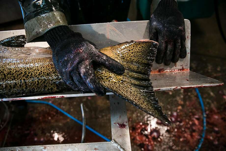 Joshua Deanfipps of the California Department of Fish and Wildlife measures a salmon at the Mokelumne River Hatchery in Clements. Photo: Mason Trinca, Special To The Chronicle