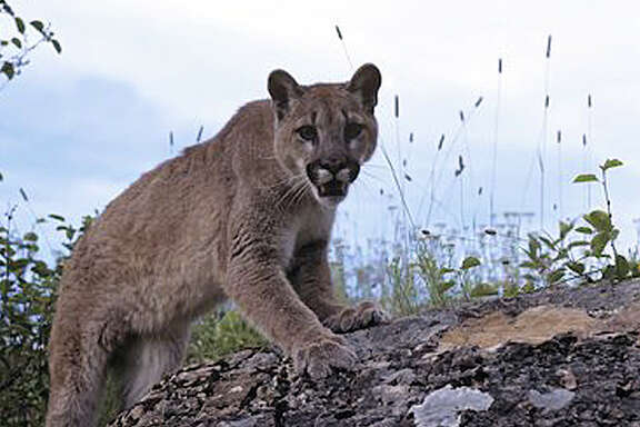 Residents in 2009 found paw prints and reported interactions with cougars in Southeast Texas.  Deer hunting season may make the cats more active. Adult cougars weigh an average of 140 pounds. (AP file photo)
