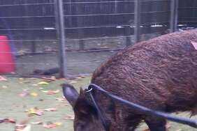 Spirit, a wild boar found in the mountains near Shasta, California, was surrendered to San Francisco Animal Care and Control on Tuesday, Nov. 16, 2017.