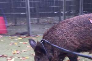 'San Francisco residents learn why wild boars do not make suitable city pets - Photo' from the web at 'http://ww2.hdnux.com/photos/67/42/77/14561225/3/landscape_32.png'