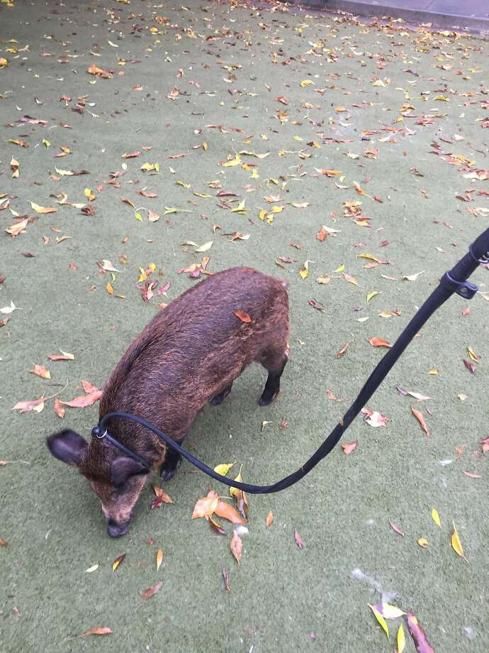 Spirit, a wild boar plucked from his home in the wild by some San Francisco residents, was surrendered to Animal Care and Control on Tuesday. Photo: San Francisco Animal Care And Control