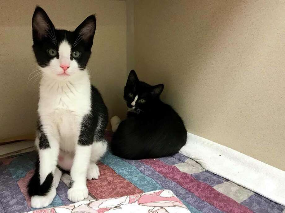 Seattle Humane is fully stocked with kittens that need homes! Here's a look at some of the kittens that will be available for adoption in the coming days. Photo: Seattle Humane