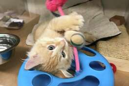 Seattle Humane is fully stocked with kittens that need homes! Here's a look at some of the kittens that will be available for adoption in the coming days.