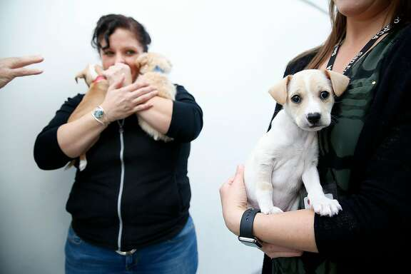 Animal client care associate and adoption counselor Karen Hernandez (left) carries Turkey (left) and Yams (right) with Potato at right at the SPCA on Friday, November 17, 2017, in San Francisco, Calif.  All two month old puppies will be up for adoption at Macy's.