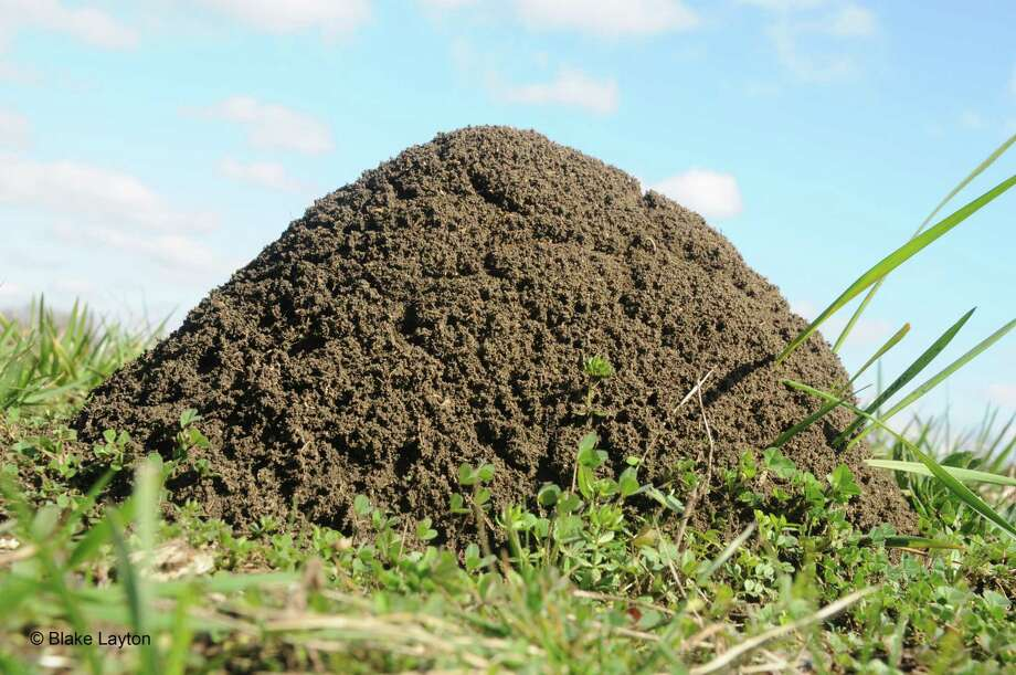 Fire ants become very aggressive when their moundlike nests are disturbed. Photo: Blake Layton, HONS / Blake Layton/Mississippi State University Extension Service
