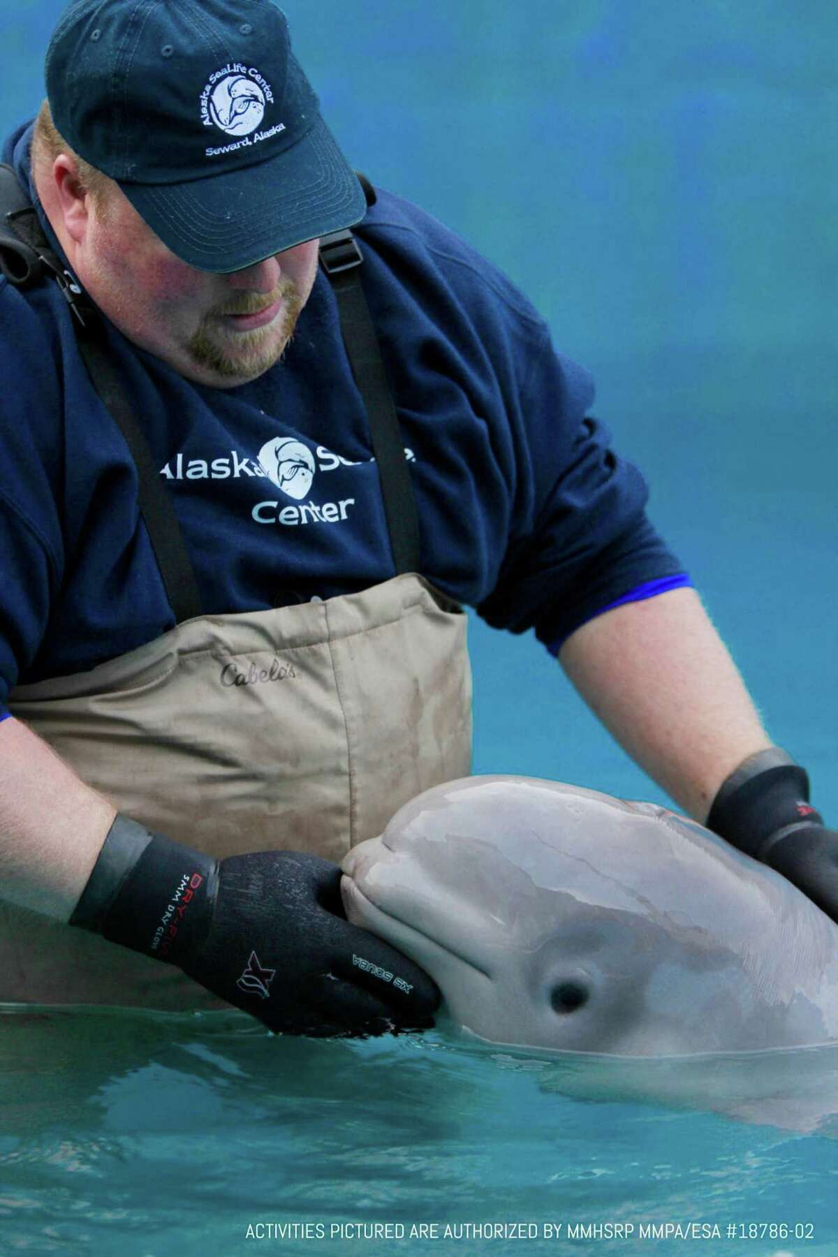 A sea life rescue center in Alaska is rehabilitating an 11-week-old Cook Inlet beluga whale, an endangered species.