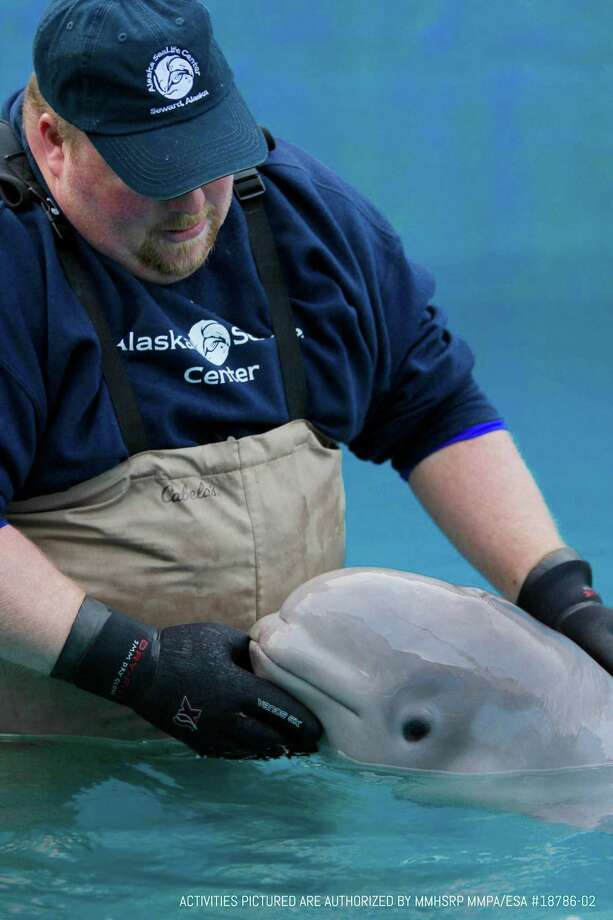 A sea life rescue center in Alaska is rehabilitating an 11-week-old Cook Inlet beluga whale, an endangered species. Photo: Alaska SeaLife Center. / The Washington Post