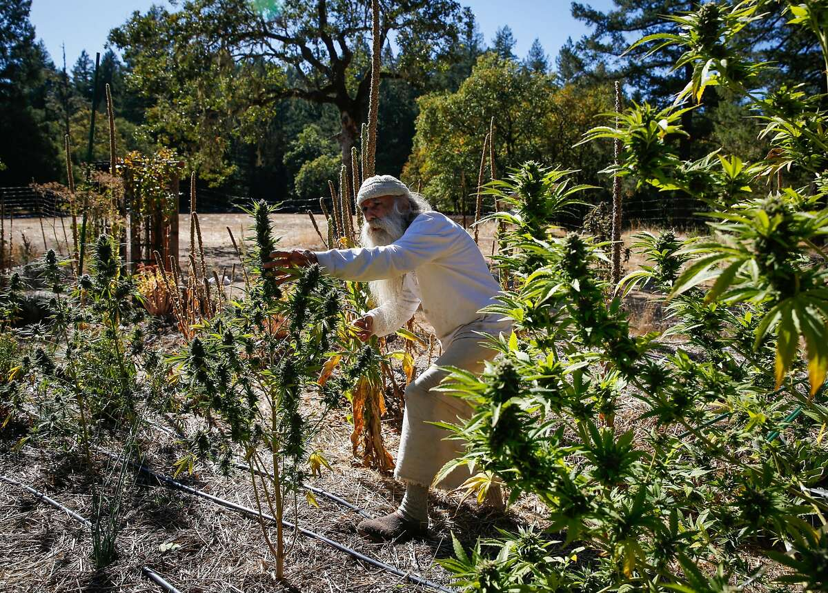 Swami Chaitanya, who co-founded the cannabis brand Swami Select looks at a cannabis plant on his farm in Humboldt County, Calif., on Sunday, Oct. 8, 2017.