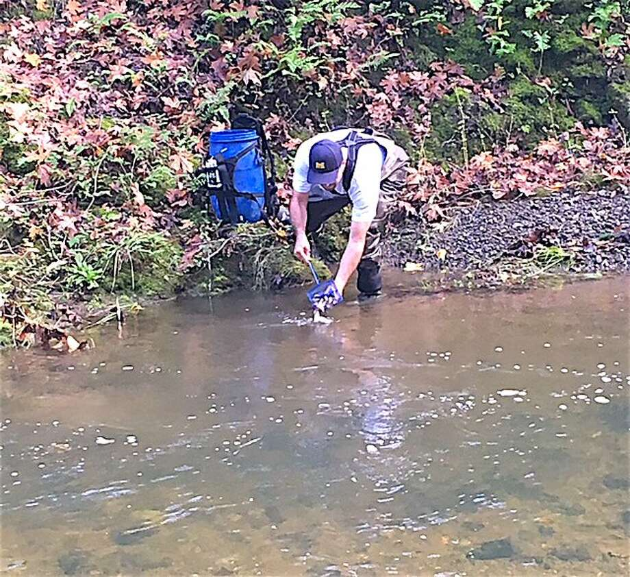 A volunteers releases coho salmon smolt into Porter Creek, a tributary to the Russian River in Sonoma County, to help jump-start the river's coho restoration. Photo: Tom Stienstra, U.S. Army Corps Of Engineers